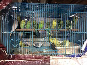 Friendly baby budgies Clayton Monash Area Preview