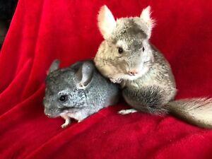 Maman chinchilla et son petit