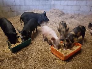 Organic berkshire spit pigs Mandurah Mandurah Area Preview
