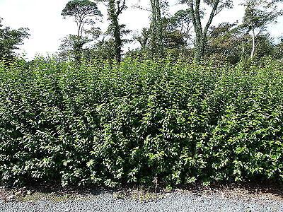 20 Green Privet Plants 3-4ft Tall, Evergreen Hedging, Grow a Quick, Dense Hedge