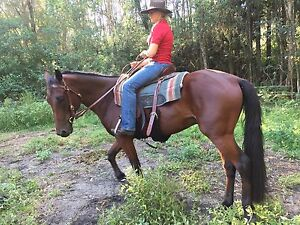 8yr old cedar wood coloured standard bred gelding  for sale Tuncurry Great Lakes Area Preview