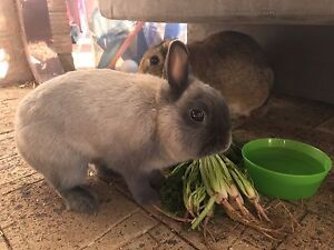 Rabbits in need of a loving home. Kardinya Melville Area Preview