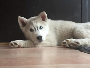 Husky pup for sale! REDUCED PRICE !!