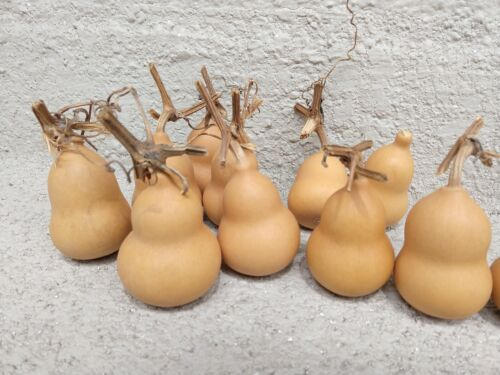 "10 Pear gourds Dry and Clean 2"".high"