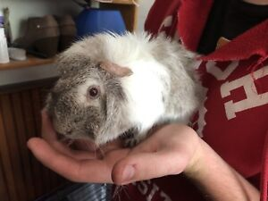 Male guinea pig one year old