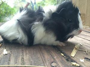 GUINEA PIGS TO GOOD HOME ONLY!! Galston Hornsby Area Preview