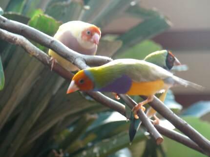 Gouldian Finches Dawesville Mandurah Area Preview