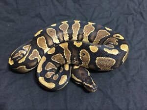 Yellow Belly 100% het pied Ball Python