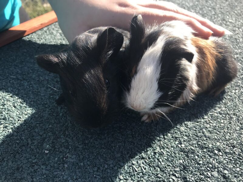 Two male baby guinea pigs | Other Pets | Gumtree Australia
