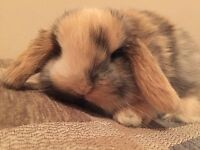 Holland lop babies! Pure bred cuties!