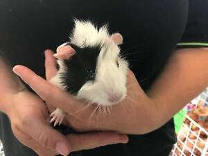 BABY GUINEA PIGS CITY COUNTRY PETS Jamisontown Penrith Area Preview
