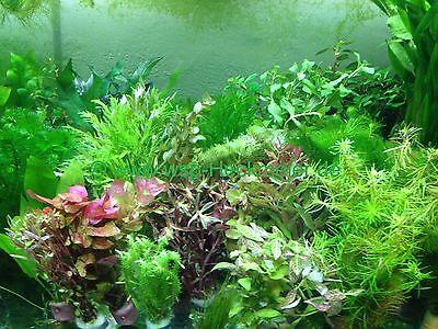 70 schnellwachsende Aquariumpflanzen gegen Algen im Aquarium (€0,22/Stk)