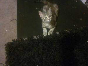 3month old kitten Smithfield Plains Playford Area Preview