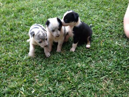 Kelpie X Border Collie Pups for Sale Gympie Gympie Area Preview