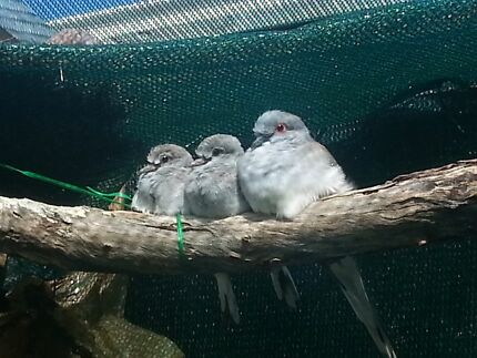 diamond dove. $5 each. single and breeding pair for sale Walkley Heights Salisbury Area Preview