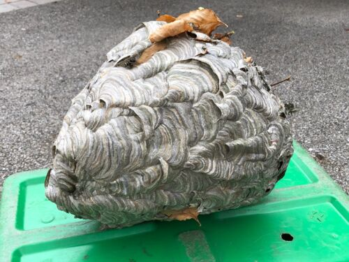 Huge Black Hornet Nest Display Taxidermy Round REAL Paper Wasp Bees Bald Face