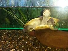 Murray River Short Necked Turtles 11mths old Croydon Maroondah Area Preview