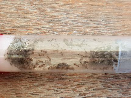 Ant Queen x3 Phiedole