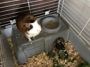 Healthy adult female guinea pig