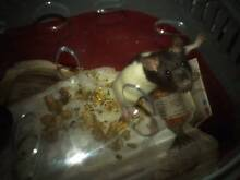 Male dark brown and white rat,with cage and carrier Blackett Blacktown Area Preview