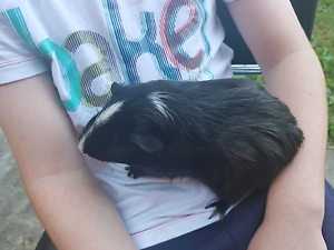 Female guinea pig for sale Ryde Ryde Area Preview