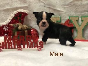 Adorable Boston Terrier puppies for sale