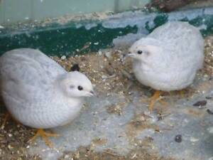 Female Silver king Quails