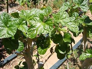 Fruit trees, perennial vegetables and herbs Lismore Lismore Area Preview