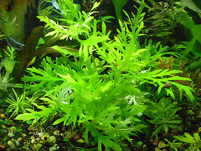 Aquarium Plant Package- 25 stems- 2 species