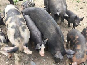 Cochon noir berkshire
