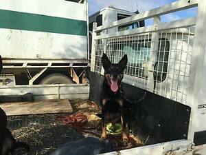Kelpie Black and Tan Female Cowra Cowra Area Preview