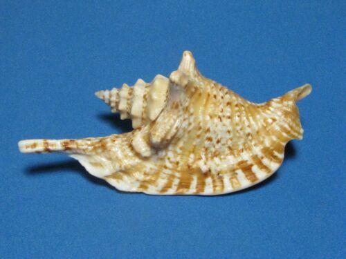 """Strombus gallus Linnaeus, 1758 """"RARE: DWARF!"""" (89.3mm)"""