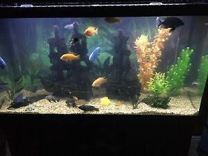 90 Gallon Aquarium , Stand with African Cichlids