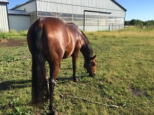 AQHA Gelding for part board!