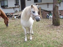 Sweet little Shetland x mare for companion or lawnmower! Jilliby Wyong Area Preview