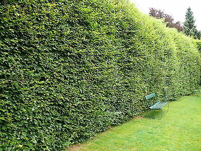8 Green Beech 5-6ft  Instant Hedging Trees,Strong 4 Year Old Feathered Plants