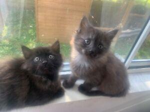 Kittens In Gold Coast Region Qld Cats Kittens Gumtree Australia Free Local Classifieds