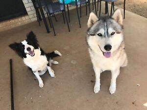 husky x | Dogs & Puppies | Gumtree Australia Free Local