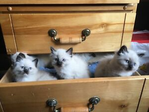 5 Beautiful Blue Eyed Ragdoll Kittens