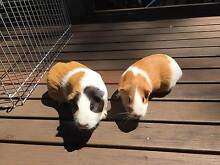 Two female guinea pigs and accessories for sale Lane Cove Lane Cove Area Preview