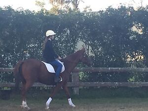 16.2hh thoroughbred gelding chestnut horse Barnsley Lake Macquarie Area Preview