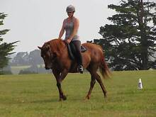 Sweet Quarter Horse Mare Hallora Baw Baw Area Preview