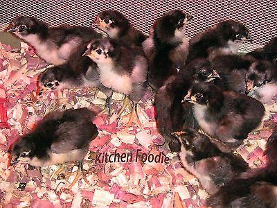 6 Half Of A Dozen Hatching Eggs - Australorp Chicken