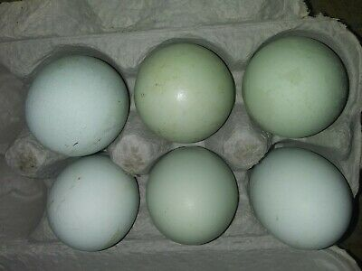 12 Blue And Green Easter Egger Hatching Eggs