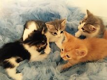 ADORABLE CHRISTMAS KITTENS (Vaccinated and loved) Robina Gold Coast South Preview
