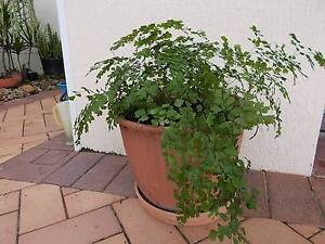 ON LINE GARAGE SALE of Attractive Inexpensive Potted Plants Robina Gold Coast South Preview