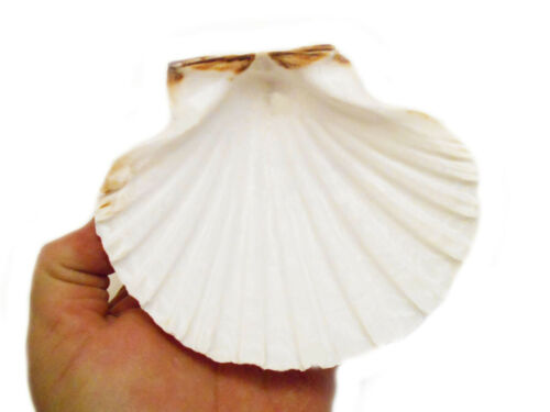"2 Real XL Irish Baking Scallop Shells (4-4.5"") Restaurant Quality Beach Dining"