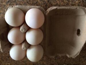 Duck eggs pasture grazed $6 half doz or $10 for a doz Pakenham Upper Cardinia Area Preview