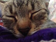 Lost little tabby cat Highland Park Gold Coast City Preview
