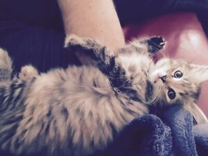 Half Persian Kitten for sale with a fantastic personality.